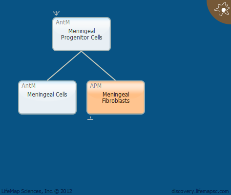 Meningeal Fibroblasts