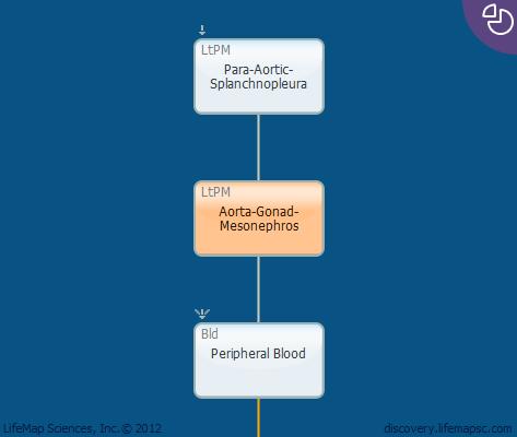 Aorta-Gonad-Mesonephros