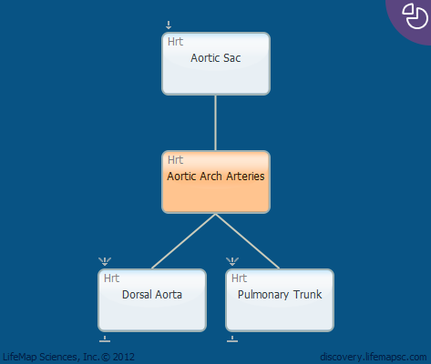 Aortic Arch Arteries