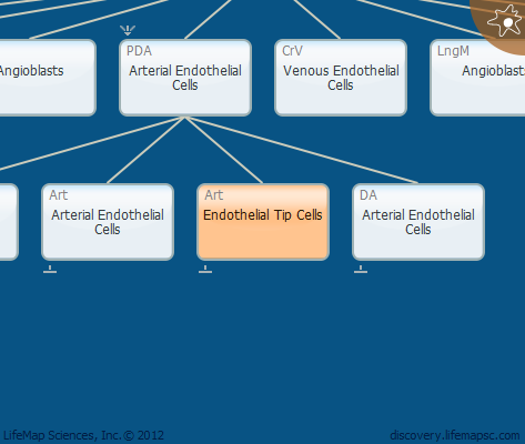 Endothelial Tip Cells