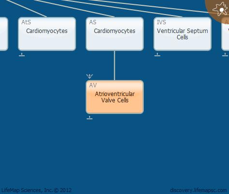 Atrioventricular Valve Cells