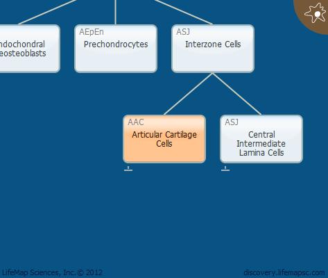 Articular Cartilage Cells