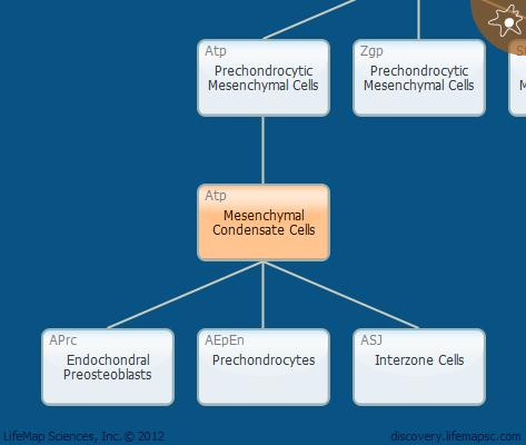 Mesenchymal Condensate Cells