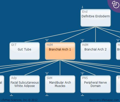 Branchial Arch 1