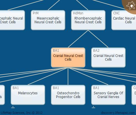Cranial Neural Crest Cells