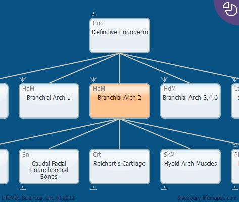 Branchial Arch 2