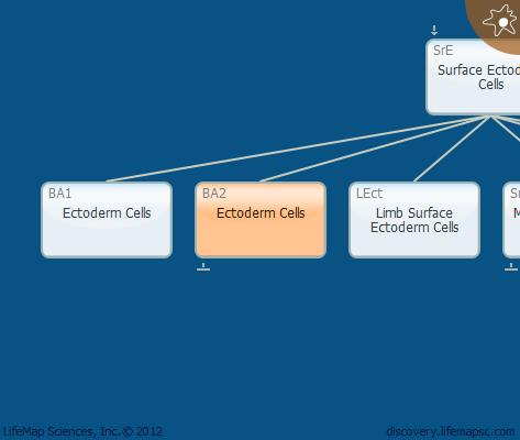 Ectoderm Cells