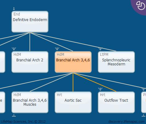 Branchial Arch 3,4,6