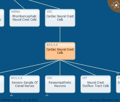 Cardiac Neural Crest Cells