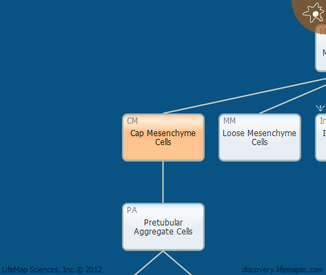 Cap Mesenchyme Cells