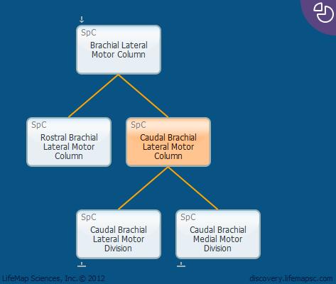 Caudal Brachial Lateral Motor Column