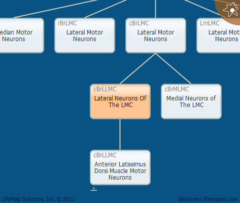 Lateral Neurons Of The LMC
