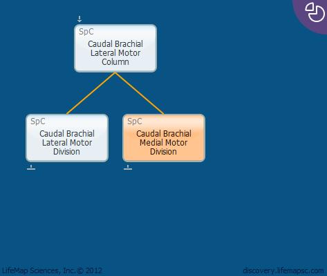 Caudal Brachial Medial Motor Division