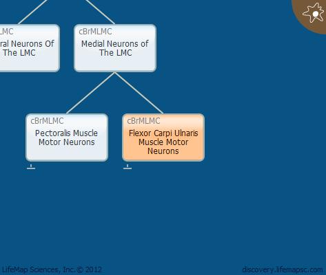 Flexor Carpi Ulnaris Muscle Motor Neurons