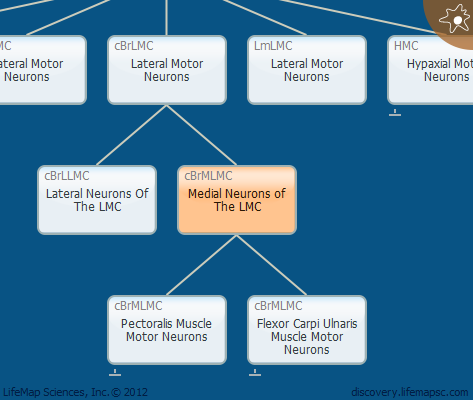 Medial Neurons of The LMC