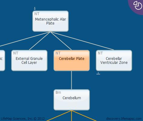 Cerebellar Plate