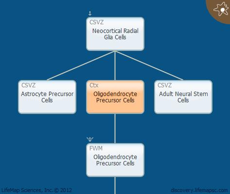 Oligodendrocyte Precursor Cells