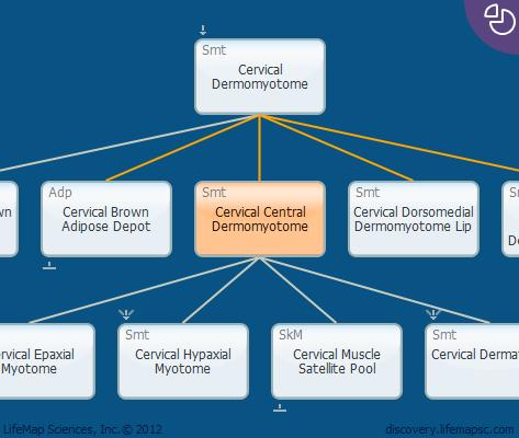 Cervical Central Dermomyotome