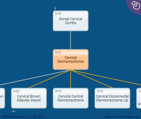 Cervical Dermomyotome