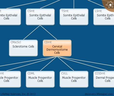 Cervical Dermomyotome Cells