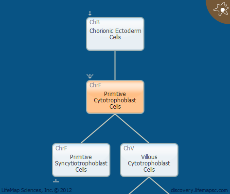 Primitive Cytotrophoblast Cells