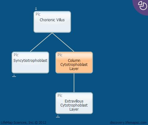 Column Cytotrophoblast Layer