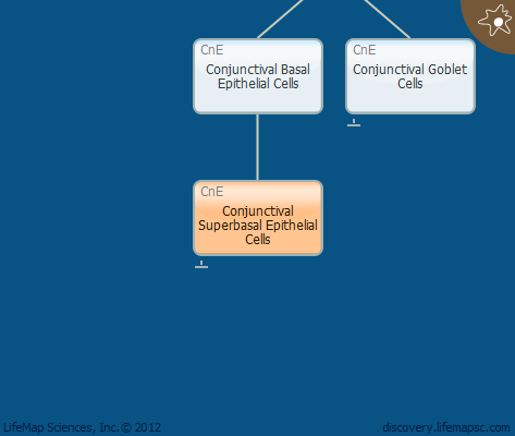 Conjunctival Superbasal Epithelial Cells
