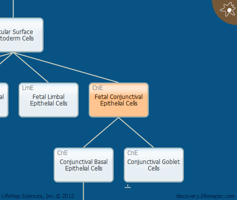 Fetal Conjunctival Epithelial Cells