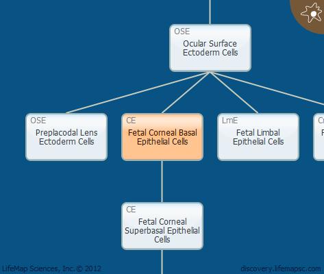 Fetal Corneal Basal  Epithelial Cells