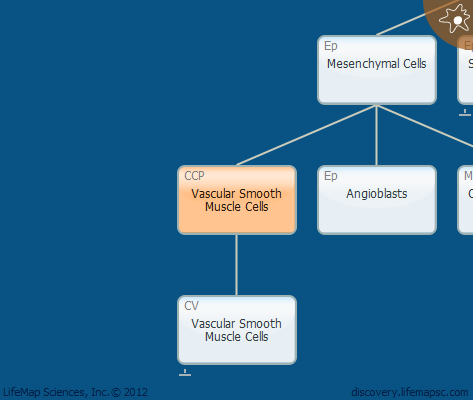 Vascular Smooth Muscle Cells