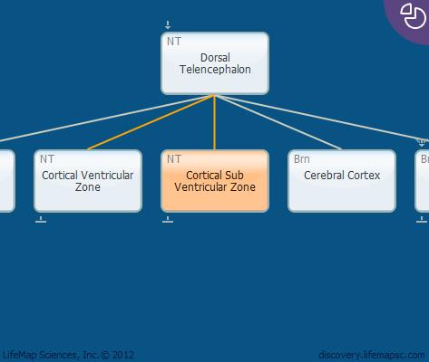 Cortical Sub Ventricular Zone