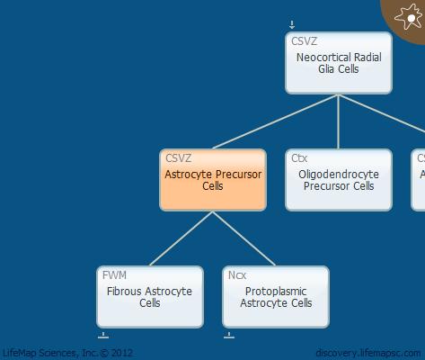 Astrocyte Precursor Cells