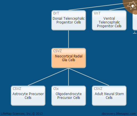Neocortical Radial Glia Cells