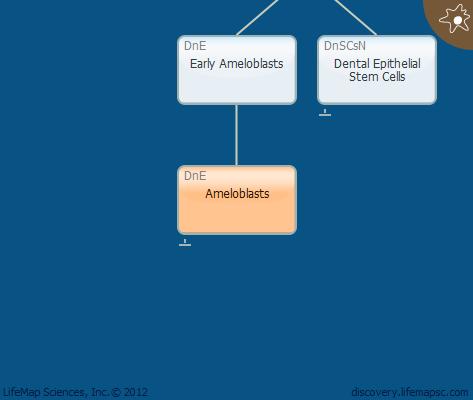 Ameloblasts