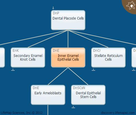 Inner Enamel Epithelial Cells
