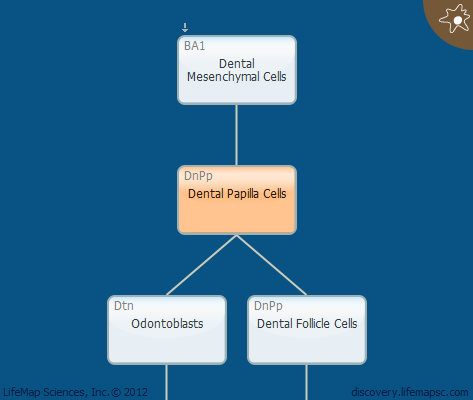 Dental Papilla Cells