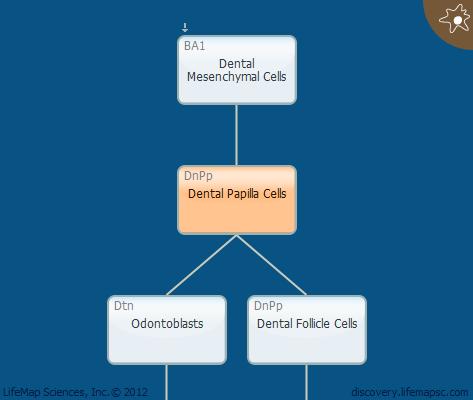 Dental Papilla Cells