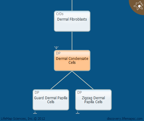 Dermal Condensate Cells