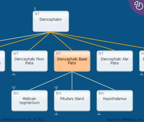Diencephalic Basal Plate