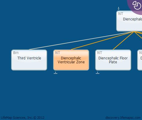 Diencephalic Ventricular Zone