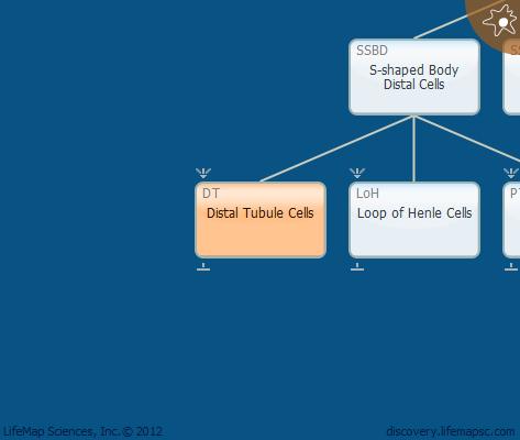 Distal Tubule Cells