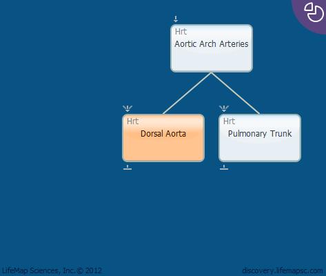 Dorsal Aorta