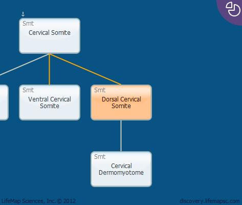 Dorsal Cervical Somite