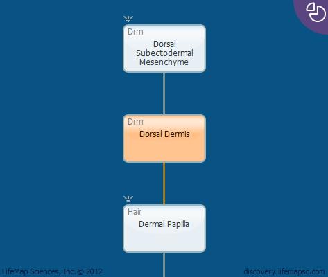 Dorsal Dermis