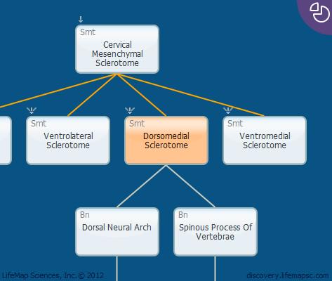 Dorsomedial Sclerotome