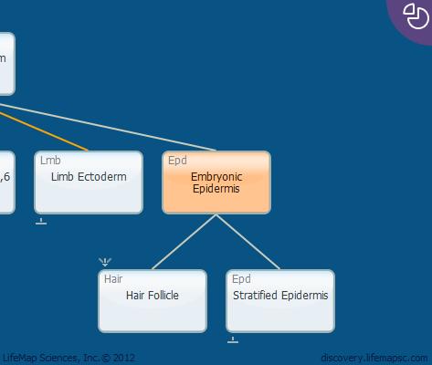Embryonic Epidermis