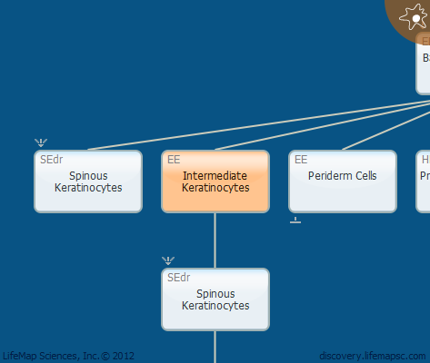 Intermediate Keratinocytes