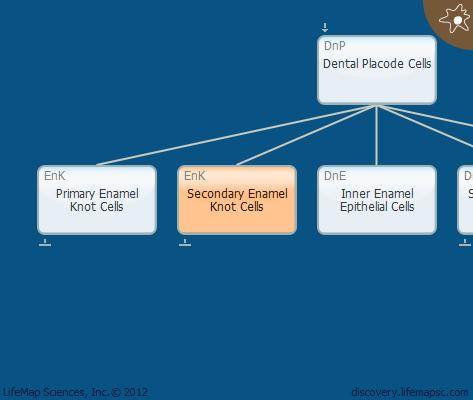 Secondary Enamel Knot Cells