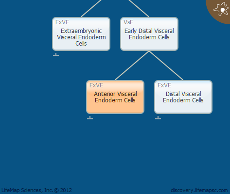 Anterior Visceral Endoderm Cells