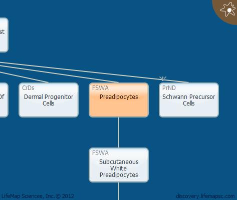 Preadipocytes